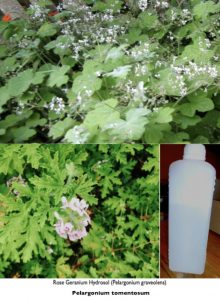 Rose Geranium-hydrosol copy 2