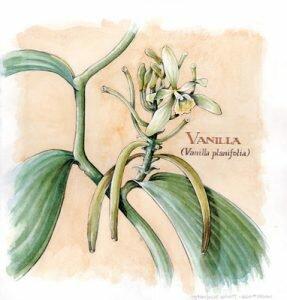Vanilla-Orchid-1