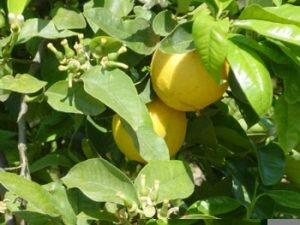 citrus_bergamot_orange