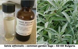 Sage EO-plant