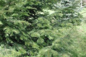 abies-grandis-foliage2-copy