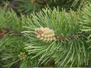 conifer_cone-pinaceae-copy