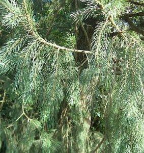 picea-spruce-copy
