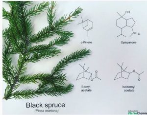 black-spruce-chemistry-phytochemia
