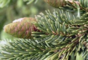 black-spruce-tip