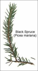 spruce-tip