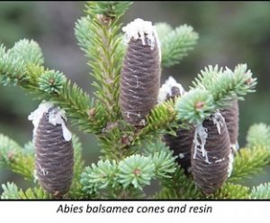 abies-balsamea-cones-and-resin
