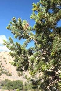pinyon-pine-copy
