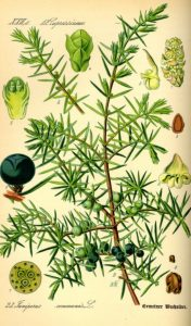 fig-5-juniper-illustration