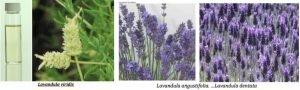 2.3 lavender plants
