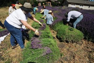 3.Lavender Pickiing copy