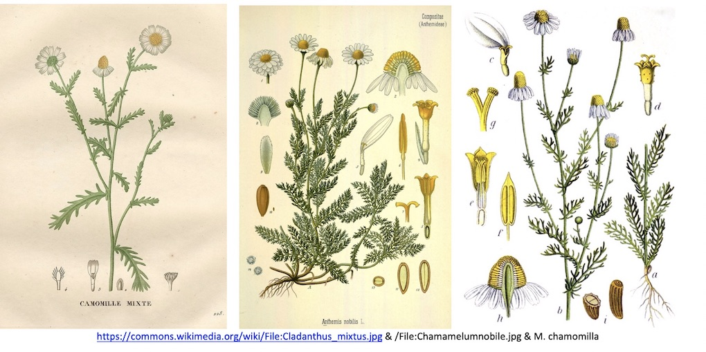 3 pictures of Herbarium samples of the plants named Chamomile. Learn the botanical name.