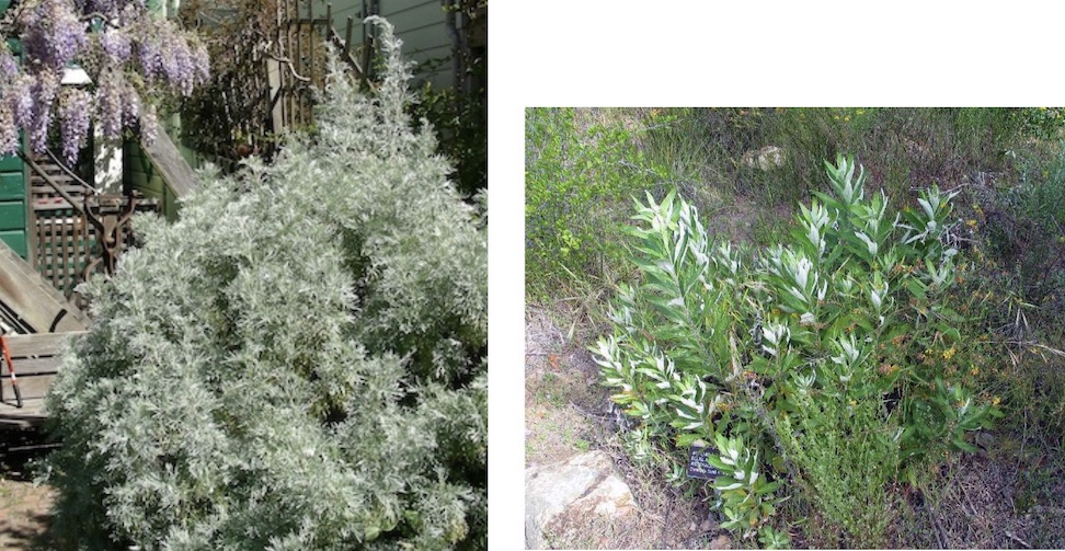 photo of two plants; Tree mugwort about 6-feet high and Douglas mugwort about 15 inches in height.