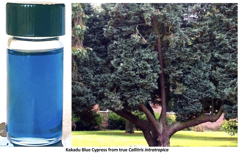 Blue Cypress oil and the tree that produces it via the bark and wood.